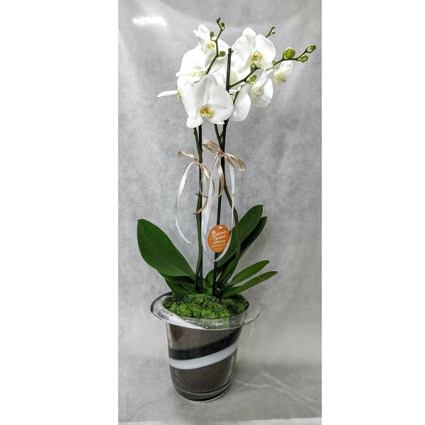 white orchid Phalaenopsis in glass pot