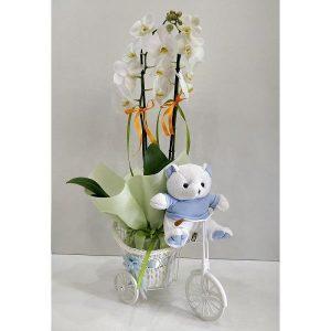 Baby Boy Orchid