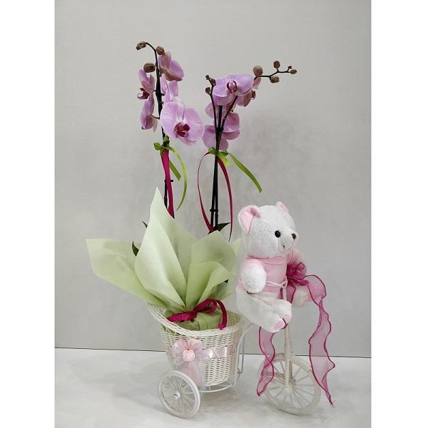 Orchidea falainopsis se roz psathino podilataki mazi me arkoudaki se roz chroma. Ena yperocho doro gia na efchitheite gia to neogennito koritsaki!