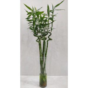 Lucky Bamboo – 80cm